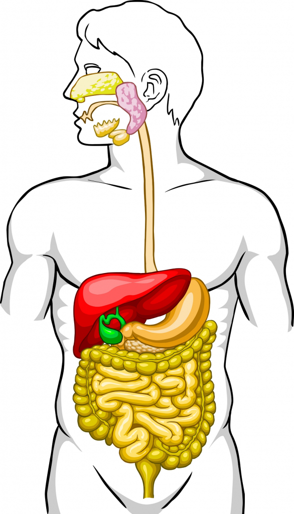 Digestive System Unlabeled Digestive System Diagram Unlabeled Human