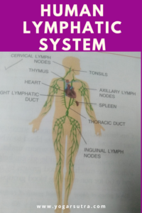Lymphatic system in human body!